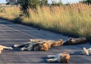 Lwy wyleguja sie na drodze
